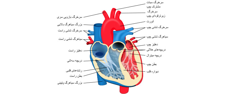 ساختار و عملکرد قلب به چه شکل است؟